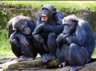 el secreto de por que los chimpances son mas fuertes que los seres humanos