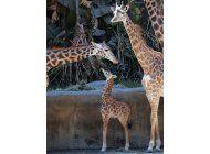 el zoo de los angeles presenta a su cria de jirafa