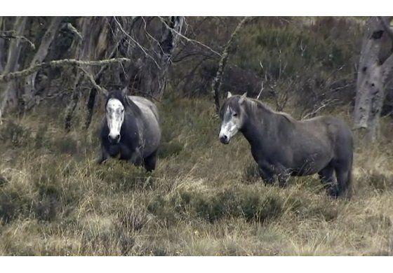 Proponen medida en Australia para proteger caballos salvajes