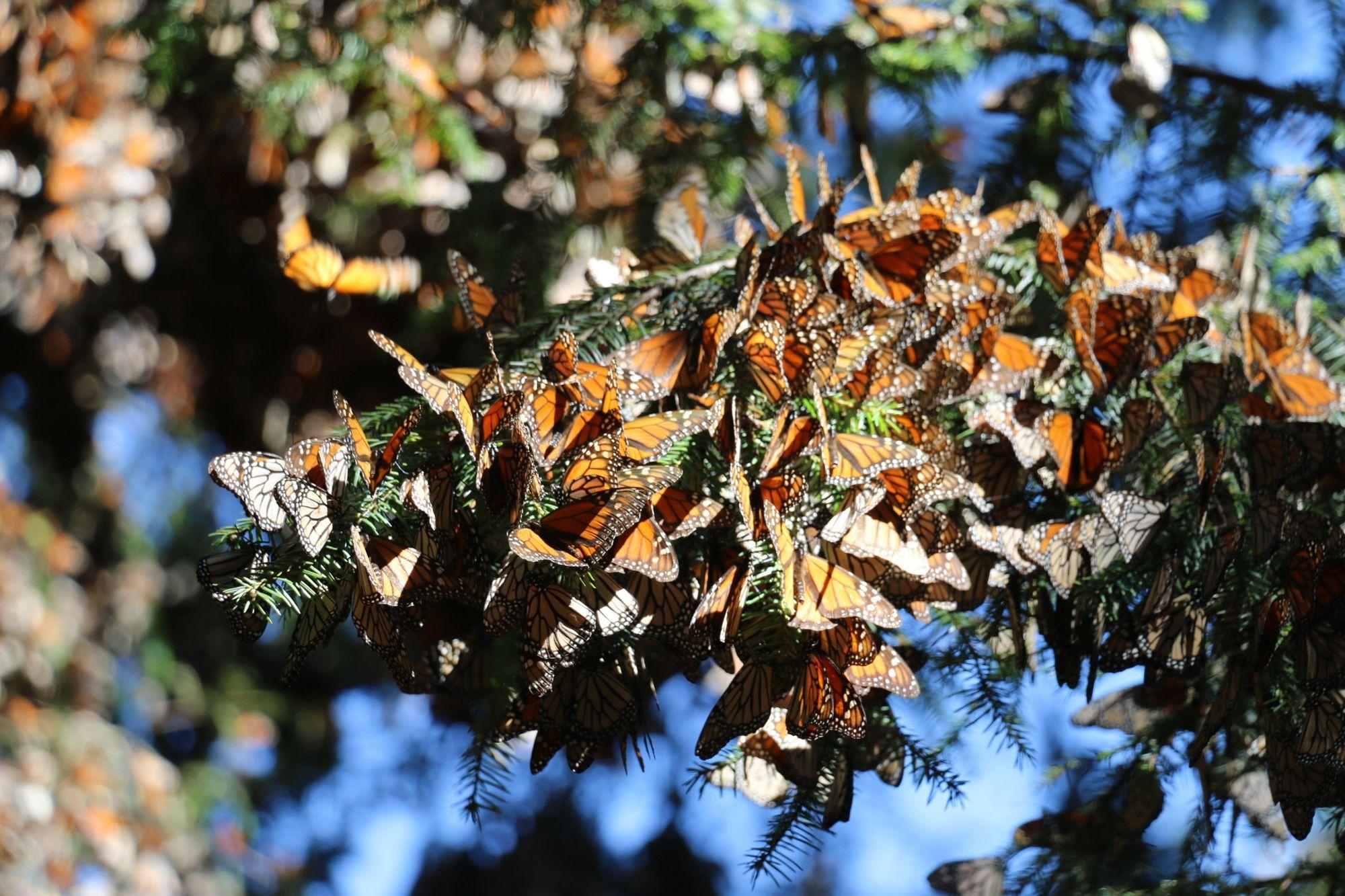 Asombro y estupor ante las mariposas monarca en México