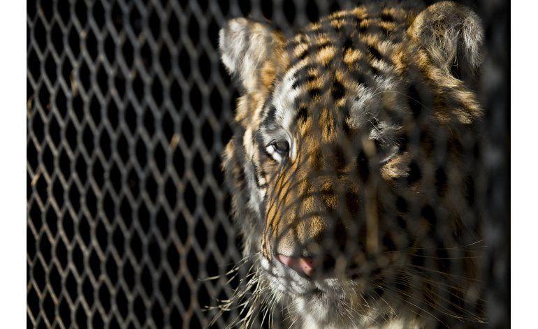 Texas: Propietaria de tigre abandonado acusada de crueldad