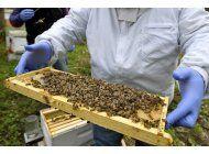 registran alto indice de mortandad de abejas en eeuu