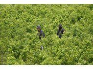 eeuu: cultivo de coca en colombia cayo en el 2018