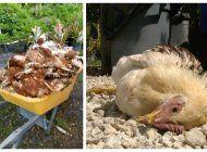 ¿el chupacabras vuelve a atacar?  mas de 200 animales han sido masacrados en una granja del sw de miami