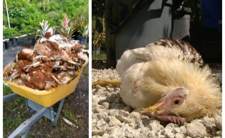¿El chupacabras vuelve a atacar?  Más de 200 animales han sido masacrados en una granja del SW de Miami