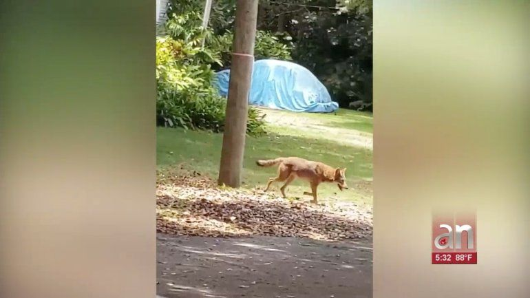 Autoridades alertan sobre un coyote suelto en el área de Miami Shores