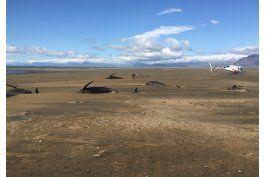 hallan a 50 ballenas piloto varadas en playa de islandia