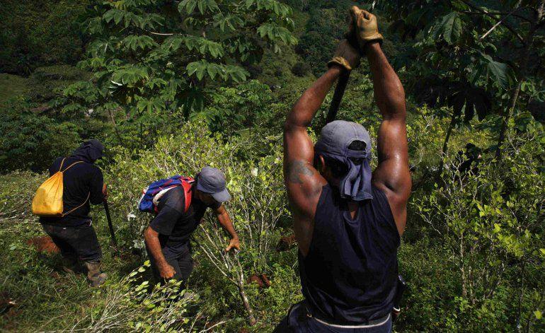 Erradicadores destruyen cultivos de coca en Colombia