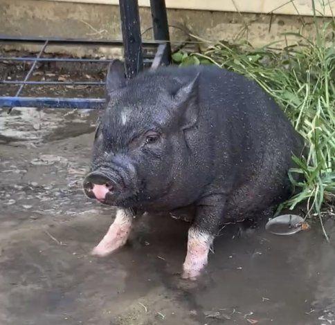 Cerdo vietnamita escapa de casa para ir a escuela en EEUU