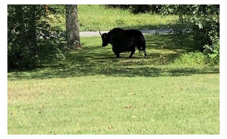 Rumbo a ser sacrificado, yak escapa a montañas de Virginia