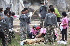 mueren 86 tigres rescatados de templo budista en tailandia