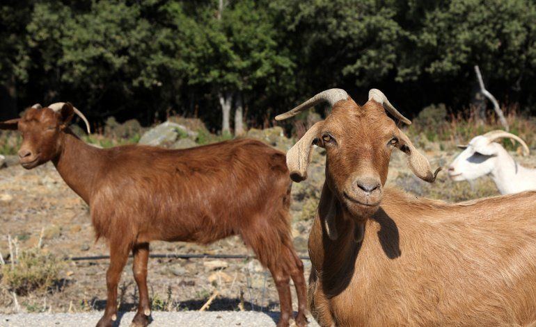 Decenas de miles de cabras crean una crisis en isla griega
