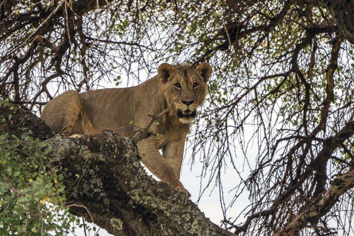 Leones matan ganado, hombre mata leones: ¿Ciclo inevitable?