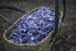 ap fotos: cosecha de azafran une a mujeres de aldea marroqui