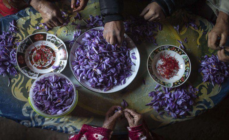 AP Fotos: Cosecha de azafrán une a mujeres de aldea marroquí