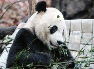el zoologico de washington envia a china al panda bei bei