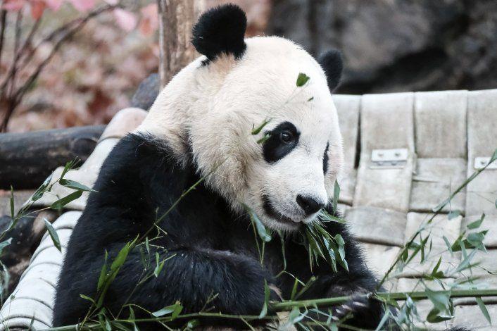 El Zoológico de Washington envía a China al panda Bei Bei