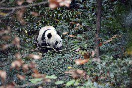 el panda bei bei nacido en eeuu es devuelto a china