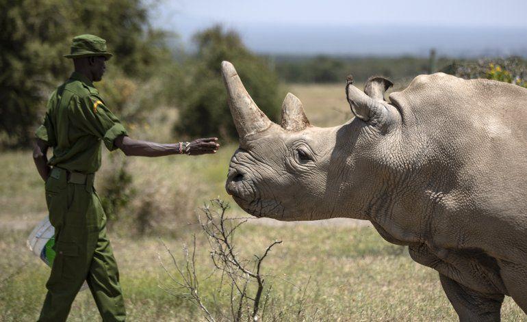 Crean embrión de especie de rinoceronte casi extinta