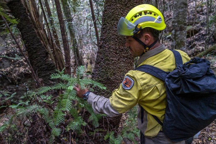 Rescatan árboles prehistóricos de incendios de Australia