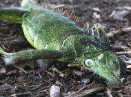 meteorologos advierten que podrian caer iguanas en florida