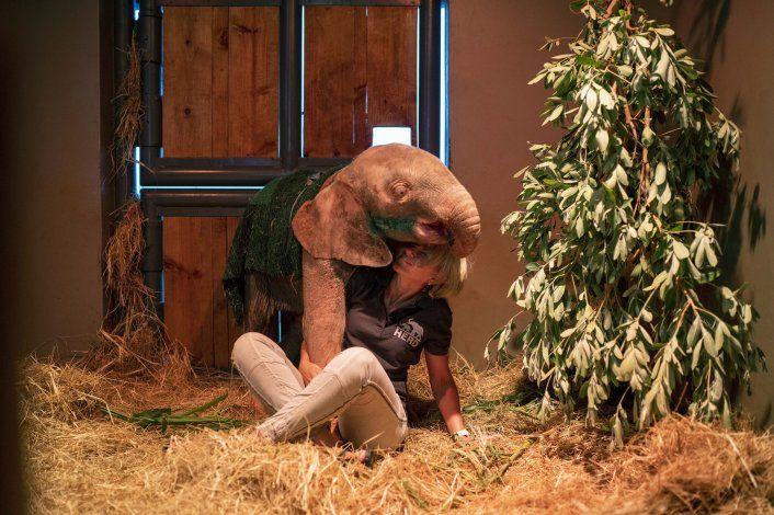 Elefanta albina de 4 meses se rehabilita tras caer a trampa