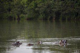 hipopotamos de pablo escobar se reproducen y causan alarma