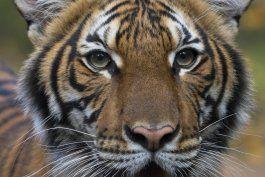 tigresa del zoologico del bronx da positivo al coronavirus