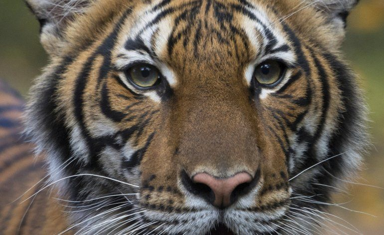 Tigresa del zoológico del Bronx da positivo al coronavirus