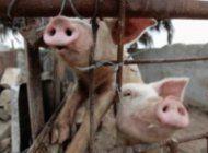 regimen anuncia que escasez de carne de cerdo seguira en los proximos meses en cuba