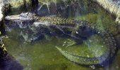 Muere en Rusia caimán que se rumora perteneció a Hitler