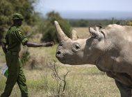 pandemia pone en riesgo preservacion de rinoceronte blanco