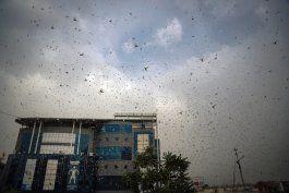 una plaga de langostas amenaza las cosechas en india