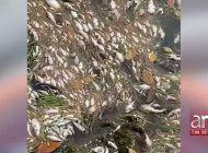 pargos, peces aguja, truchas de mar, peces globo y cangrejos aparecieron muertos en varios sectores de la bahia de biscayne