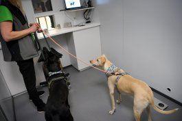 finlandia utiliza perros detecta-coronavirus en aeropuerto