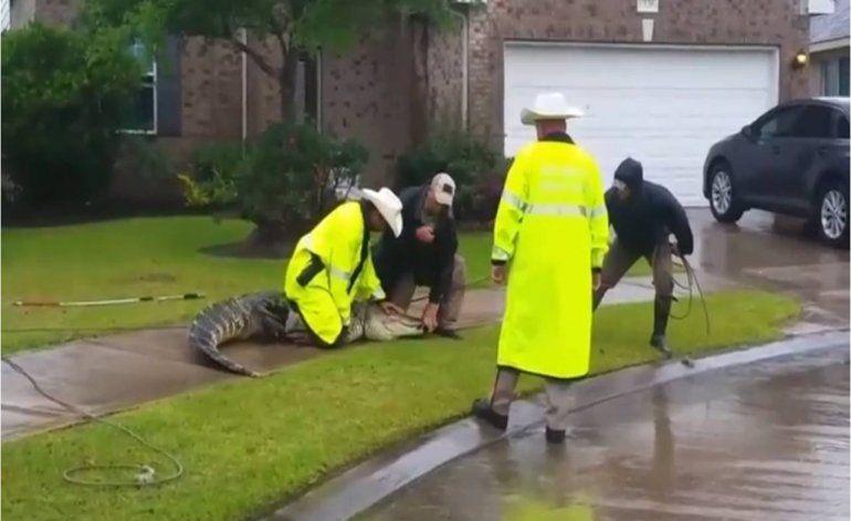 Cocodrilo lucha por no ser sacado de su hogar en Texas