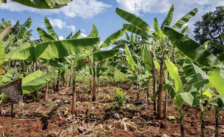 Impactada la siembra de farináceos