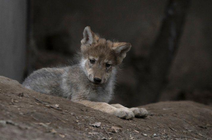 Camada de lobos en México; esperanza para evitar extinción