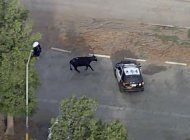 nuevamente escapa un hato de vacas en eeuu