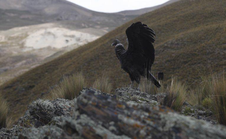 Liberan a 2 cóndores andinos con ayuda de aymaras en Bolivia
