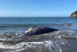 hallan cuatro ballena muertas en area de san francisco