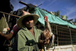 una nueva ley en cuba protege animales pero autoriza las peleas de gallo de la empresa del comandante garcia frias