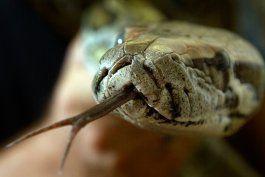 Miami y todo el sur de la Florida se ha visto afectado por la invasión de las serpientes pitón