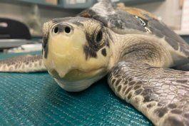 eeuu: liberaran a 7 tortugas marinas que fueron rescatadas