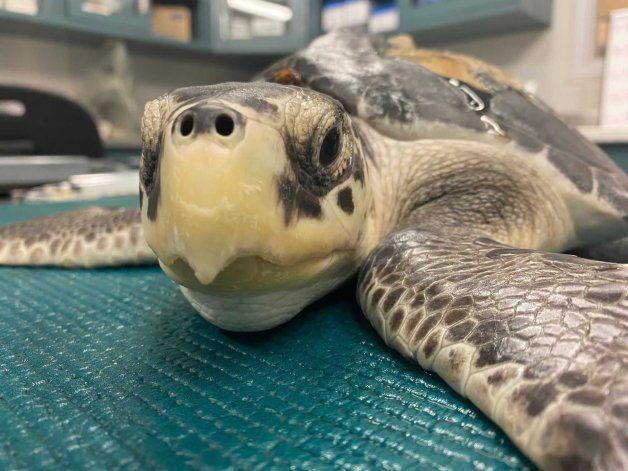 EEUU: Liberarán a 7 tortugas marinas que fueron rescatadas
