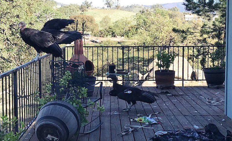 Varios cóndores causan caos en casa de mujer en California