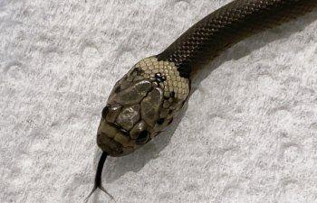 Hombre en Australia encuentra serpiente en lechuga del súper