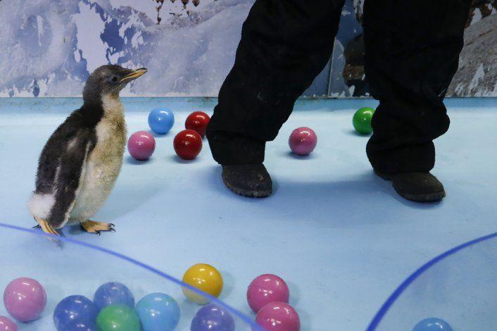 El pingüino Álex, un aleteo de felicidad en acuario mexicano