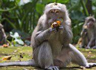 ante la falta de turistas, monos de bali asaltan las casas