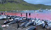 Dinamarca: Dramáticas imágenes de más de 1.400 delfines muertos tras caza en las Islas Feroe